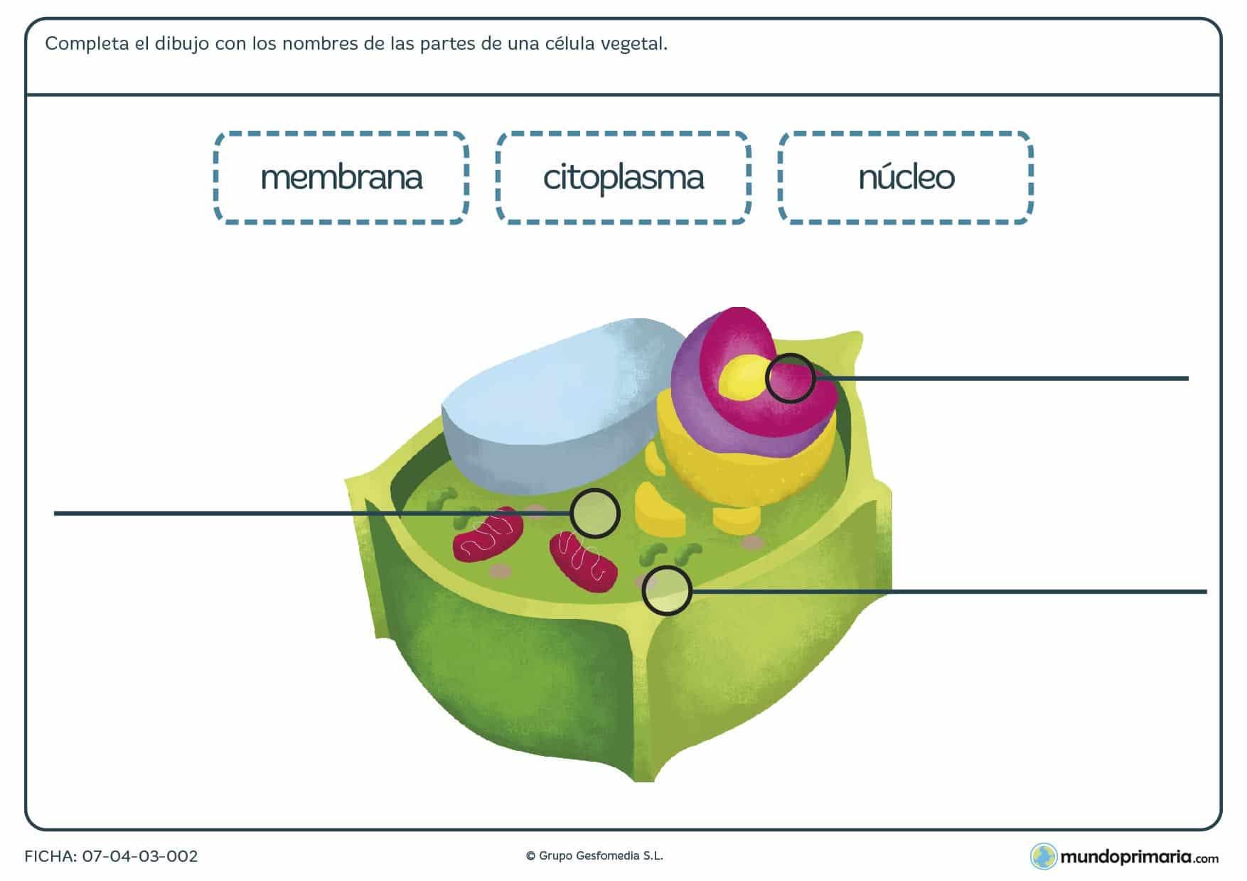 Ficha de partes de la célula vegetal con un dibujo de esta en la que debes distinguir la tres partes que te nombramos.