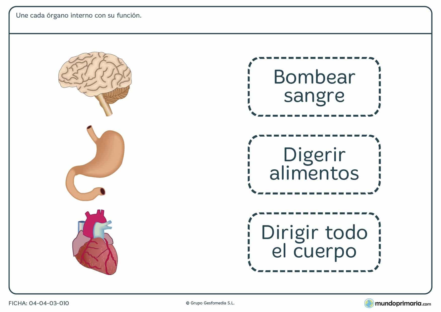 Ficha de funciones de los órganos en el que hay que unir cada órgano interno con su correspondiente función.