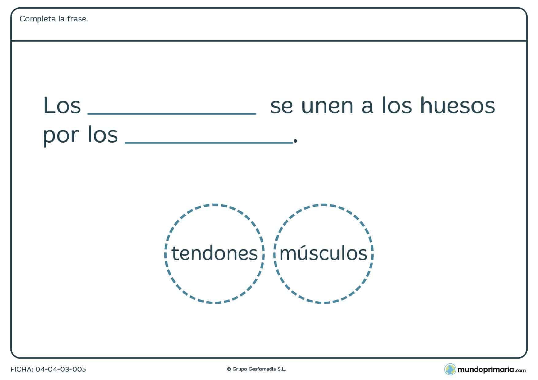 Ficha de los tendones en el que hay que completar la frase con la palabra correcta proporcionada en el ejercicio.