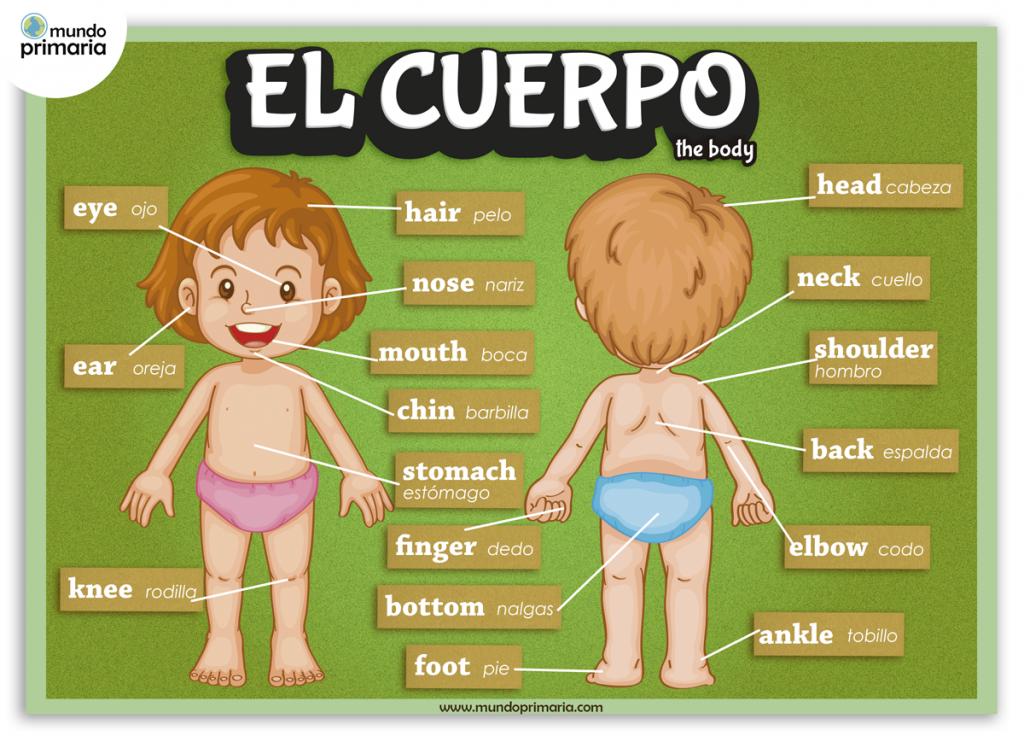Infografía educativa de las partes del cuerpo en inglés