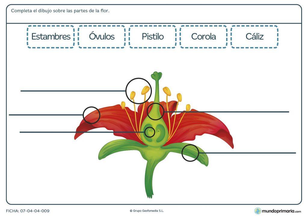 Ficha de una flor para aprender a reconocer sus partes