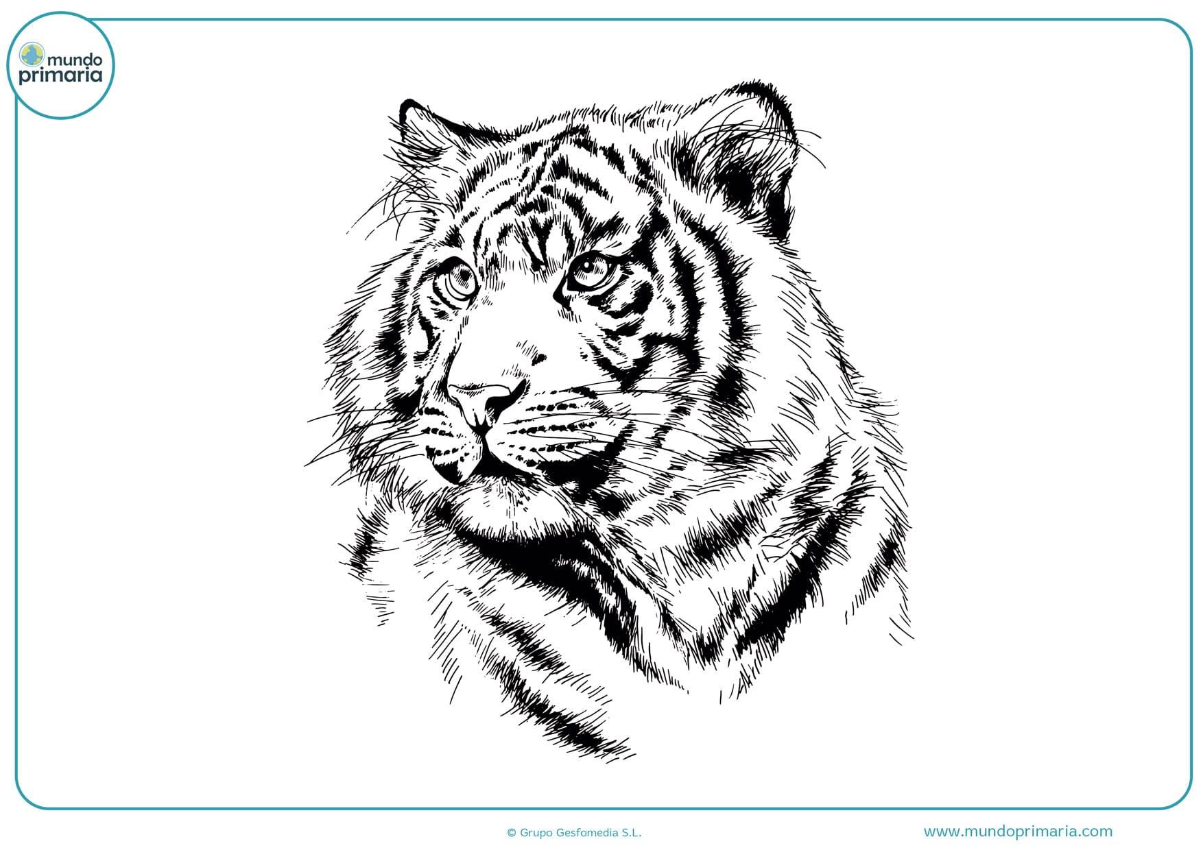 dibujos de tigres a lápiz para colorear