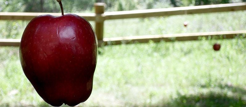 Juego tradicional de comer la manzana