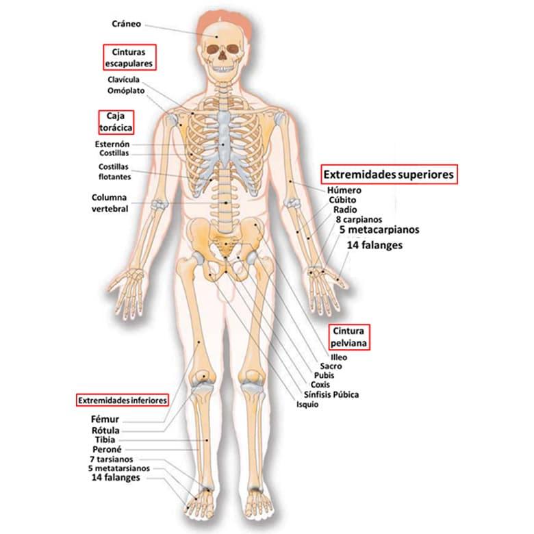 Cuales Son Huesos Esqueleto Humano