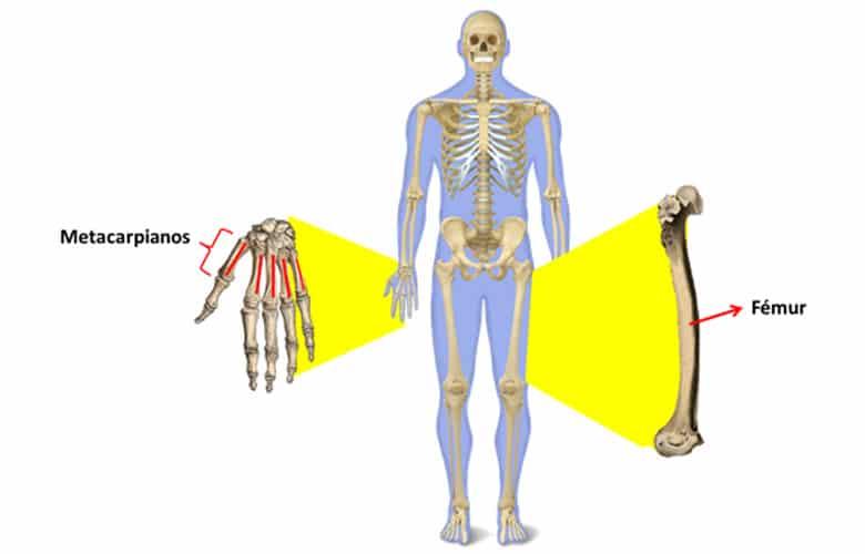 Esqueleto Humano Completo Nombres