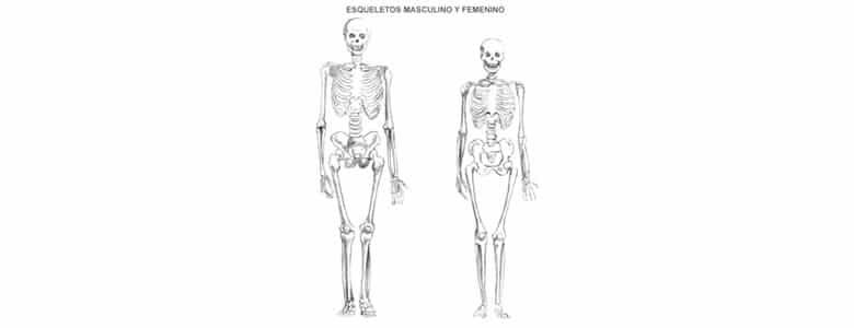 Esqueleto Humano Estructura