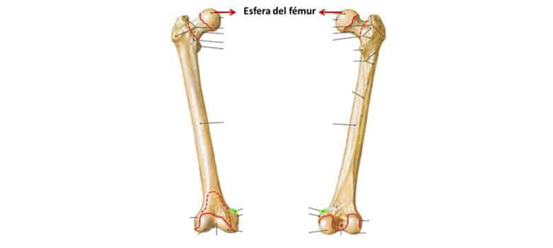 Esqueleto Humano Femur