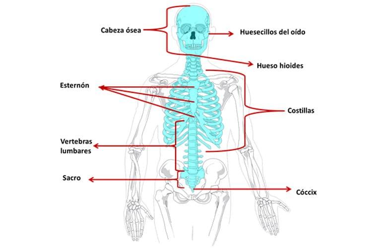 Esqueleto Humano Partes