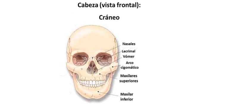 Huesos Esqueleto Humano Cuales Son