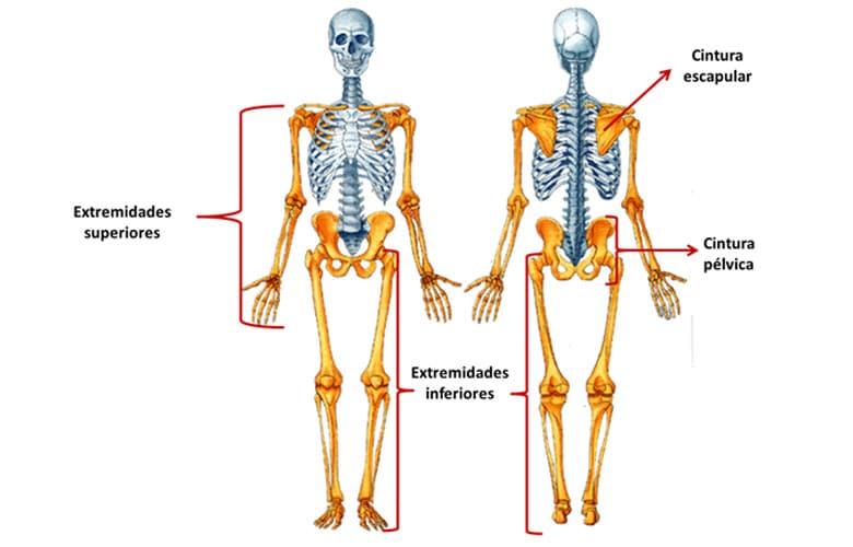 Partes Esqueleto Humano