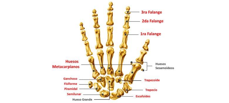 Partes Principales Esqueleto Humano