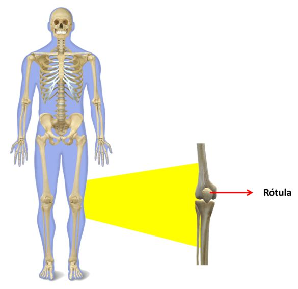 Cómo están compuestos los músculos