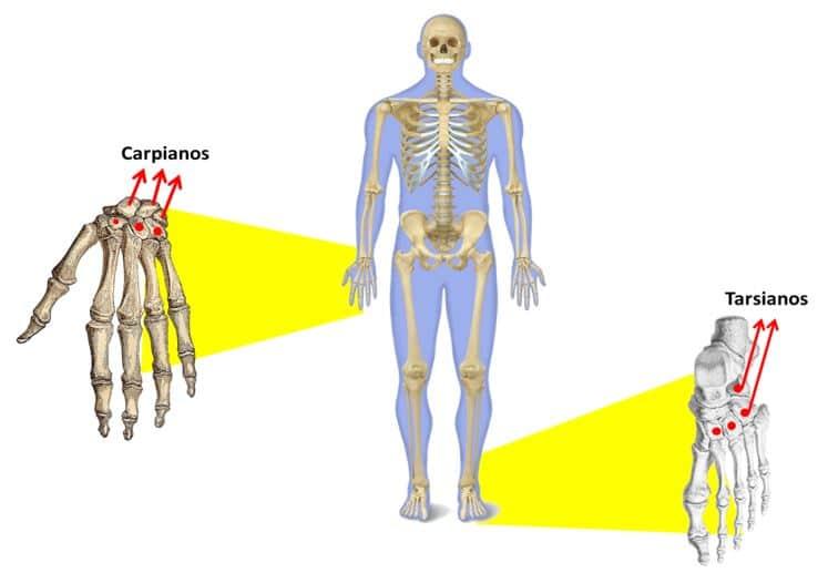 Función de los músculos