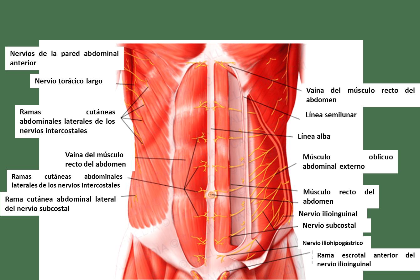 Músculos del tórax y pared abdominal