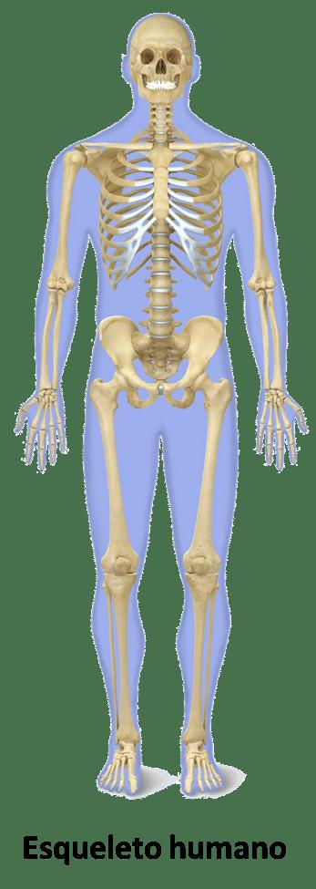 Músculos estriados o esqueléticos