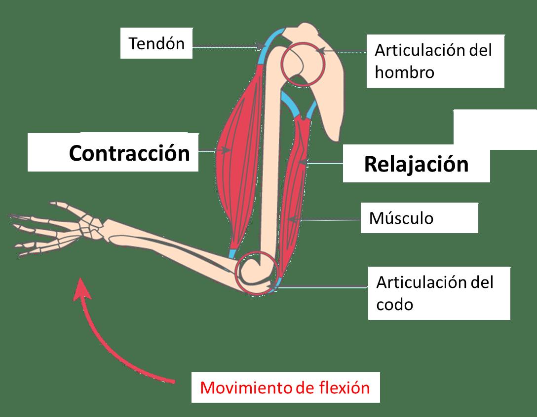 Músculos movimiento de flexión