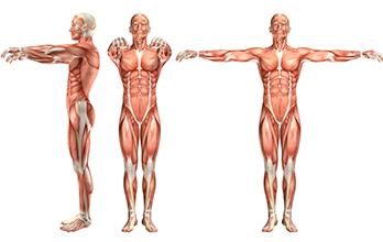 Sistema Muscular Mini