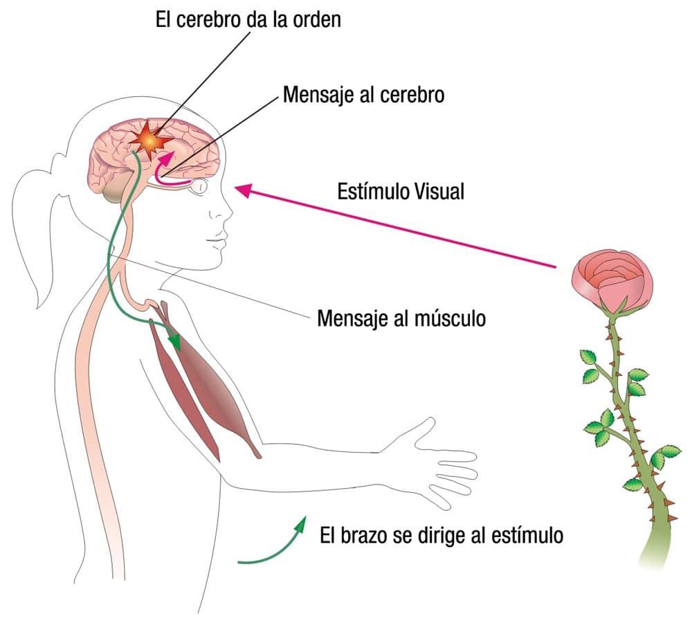 Tipos de nervios y su función en el movimiento