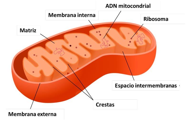 Célula eucariota en primaria