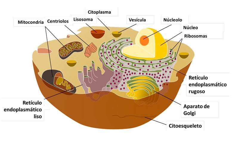 Célula eucariota para niños de primaria