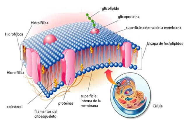 Célula eucariota para niños