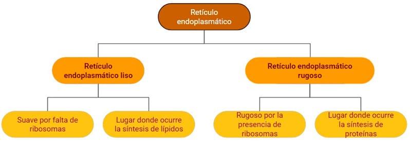 Célula eucariota para primaria