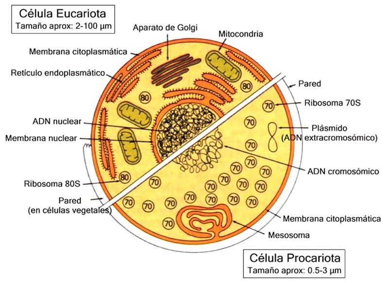 Células eucariotas para niños de primaria
