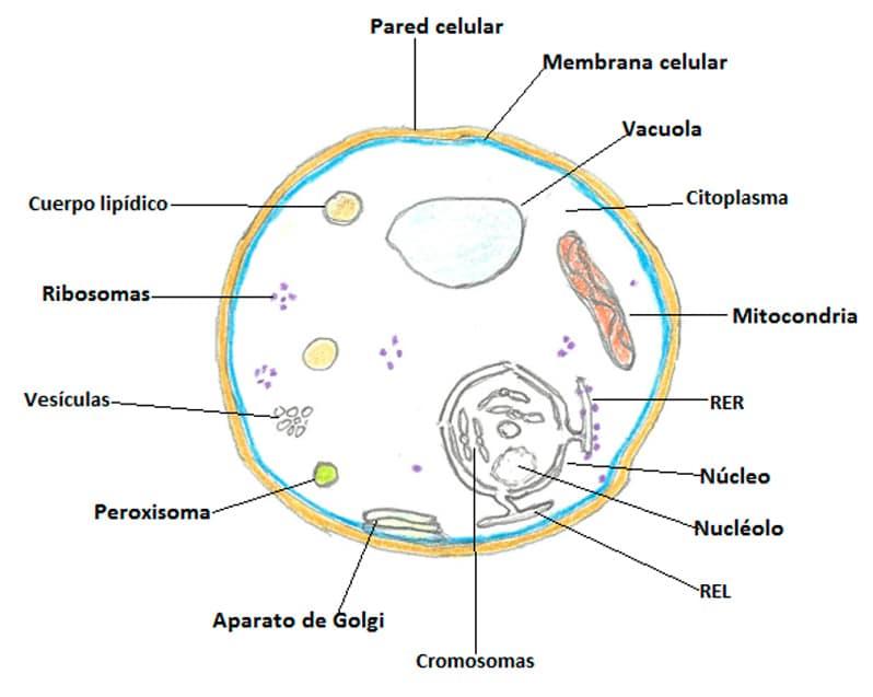 La célula eucariota en primaria para niños